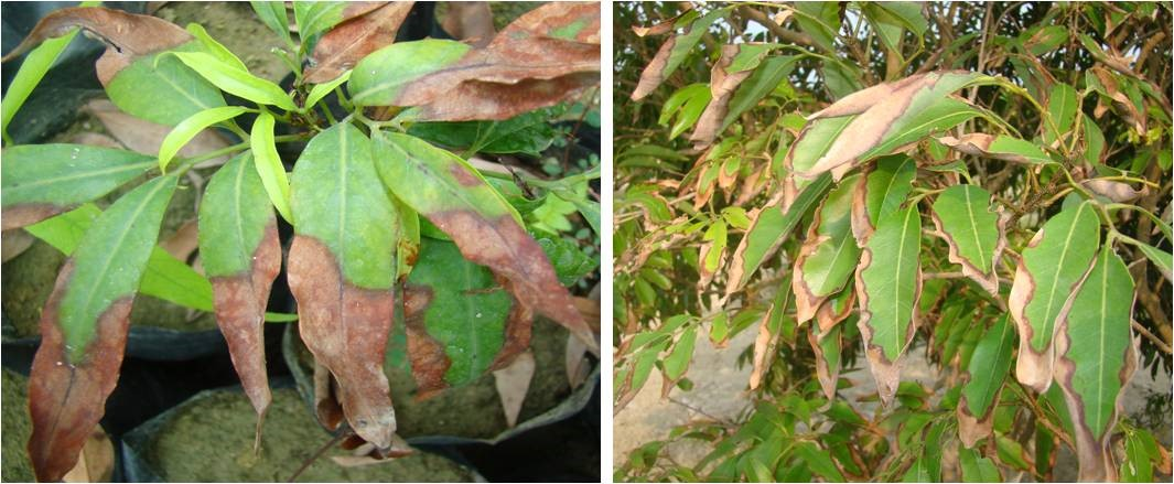 Leaf Blight: In nursery plants and In orchard on bearing tree