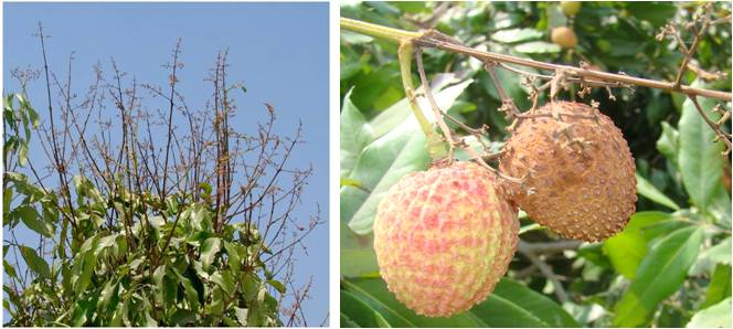 Symptoms of panicle and fruit blights