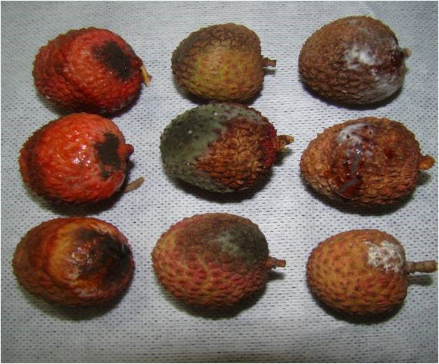 Symptoms of anthracnose on fruits