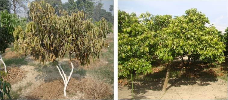 Wilt: Symptoms on young plant (Left) and on early symptoms on a bearing trees (Right)